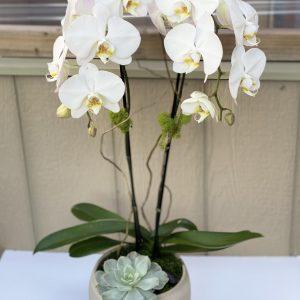 Double Stem Orchid Arrangement from Polk Street Florist